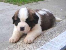 子犬 セント バーナード